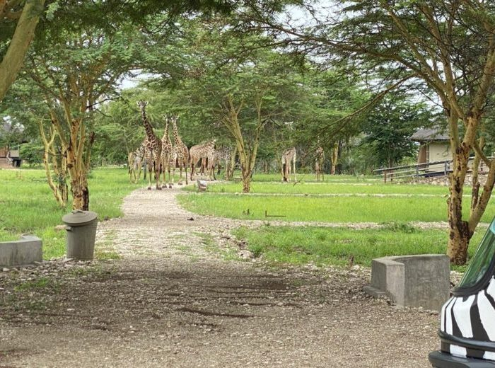 Maramboi Tented Lodge – Visited by a Family of giraffes